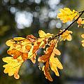 Autumn Oak Leaves by Alain De Maximy