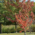 Autumn Oak Tree  by Ruth  Housley