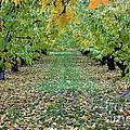 Autumn Orchard by Carol Groenen