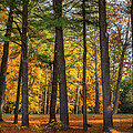 Autumn Pines Square by Bill Wakeley