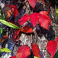 Autumn Poison Ivy by Judi Bagwell