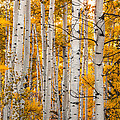 Autumn Quaking Aspen by Jerry Ross