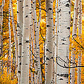 Autumn Quaking Aspen Panoramic by Jerry Ross