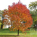 Autumn Red Tree by Michael Paskvan