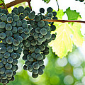 Autumn Ripe Red Wine Grapes Right Before Harvest by Ulrich Schade