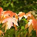 Autumn Splendor by Nancy Spirakus
