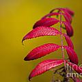 Autumn Sumac by Wayne Moran