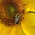 Autumn Sunflower by TnBackroadsPhotos