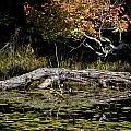 Autumn Swamp by Cheryl Baxter