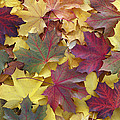 Autumn Sycamore Leaves Germany by Duncan Usher