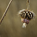 Autumn Thistle by Scott Moss
