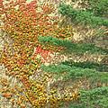Autumn Vine And Evergreen by Ann Horn