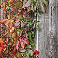 Autumn Vine by Bill Wakeley