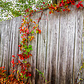 Autumn Vines by Donna Doherty