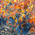 Autumn Vineyard Sunlight by Carol Groenen