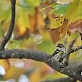 Autumn Warbler by Paul Golder