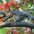 Autumnal Squirrel by Amanda Stadther
