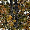 Autumn's Golden Hickory Tree by Maria Urso