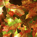 Autumn's Red Oak Leaves by Suzanne Powers