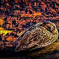 Autumns Sleepy Duck by Bob Orsillo