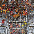Autumn's Window Curtains by Terry Rowe