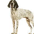 Auvergne Pointer by Jean-Michel Labat