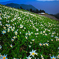 Avalanche Lily Field by Inge Johnsson