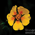 Avens Flower by Photography by Laura Lee