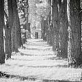Avenue Of Trees New Zealand by Colin and Linda McKie