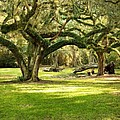 Avery Island Oaks by Scott Pellegrin