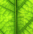 Avocado Leaf by Gary Eason