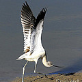 Avocet Dancer by Timothy Flanigan