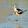 Avocet Pair by Mike Fitzgerald