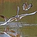 Avocets Chase Off The Egret by Tom Janca