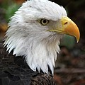 Awesome American Bald Eagle by Sabrina L Ryan