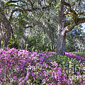 Azalea In Bloom by Dale Powell