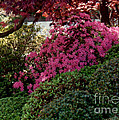 Azaleas And Red Maple Tree by Ruth  Housley
