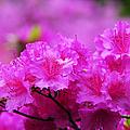 Azaleas In Keukenhof Botanical Garden. Netherlands by Jenny Rainbow