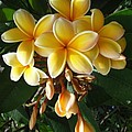 Aztec Gold Plumeria by Mary Deal