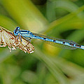 Azure Damselfly  by Tony Murtagh