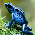 Azure Poison Dart Frog by David Kenny