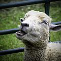 Baa Baa Black Sheep by LeeAnn McLaneGoetz McLaneGoetzStudioLLCcom