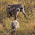 Baboon Family by Tony Murtagh