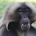 Baboon by John Telfer