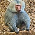 Baboon On A Stump by Jonny D