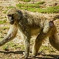Baboon by Steve Harrington