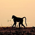 Baboon Sunset by Amanda Stadther