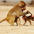 Baboon With Baby by Nick  Biemans