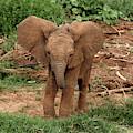 Baby Africa Elephant, Samburu National by Adam Jones