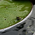 Baby Amphibian by Susan Herber